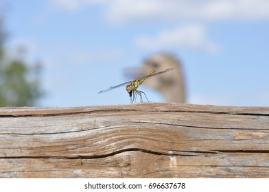 A dragonfly eats an insect.