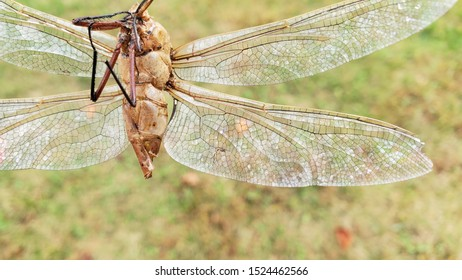 Dragonfly exoskeleton with wings and body