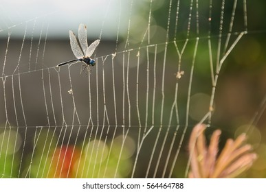 Dragonfly has flown attached to the webs of spiders.