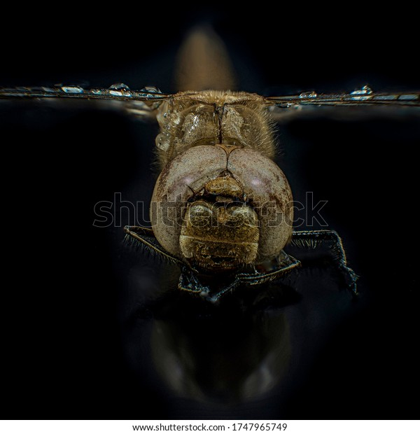 Dragonfly head detail shot with facet eye and water drops on wings