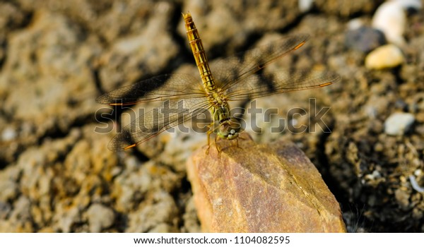 Dragonfly holding on the rock