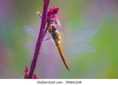 A dragonfly is an insect belonging to the order,  dragonflies are characterized by large, multifaceted eyes, two pairs of strong, transparent wings, sometimes with