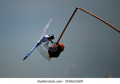 A dragonfly is an insect belonging to the order Odonata, infraorder Anisoptera.