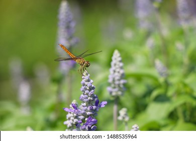 Dragonfly insect holding on blossoming flowers purple color beautiful in nature background