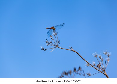 Dragonfly insect resting at dry umbel blossom plant part, blue sky background (copy space)