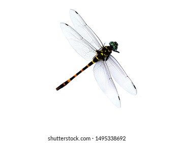 dragonfly isolated on white background. Yellow and back Dragonfly Gomphus flavipes.