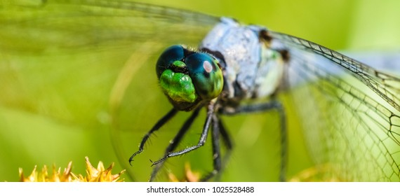 Dragonfly from Kentucky The giant blue and brown-nature photography.