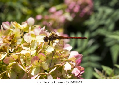 Dragonfly lands on hydrangea plant