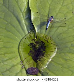 dragonfly laying eggs on a lily-pad