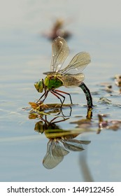 Dragonfly laying eggs under water