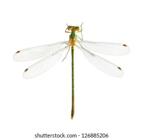Dragonfly Lestes barbarus (female) on a white background