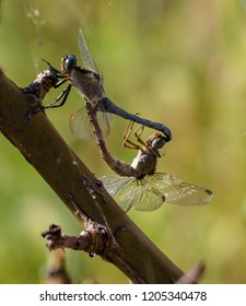 Dragonfly love - they creating a heart shape