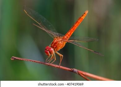 Dragonfly, Macro dragonfly, dragonfly , insect, animal, nature,macro,bug.