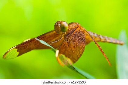 Dragonfly in macro shot, Chantathen waterfall Chonburi Thailand