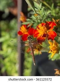 Dragonfly and Marigolds