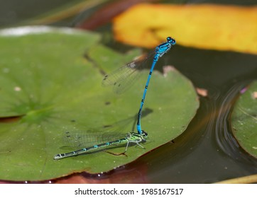 Dragonfly Mating on a Lillypad