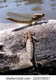Dragonfly metamorphosis on log next to river.