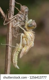 Dragonfly metamorphosis, Spain