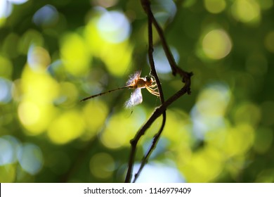 A dragonfly in nature background. Dragonflies are agile fliers. Dragonflies of Thailand.