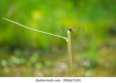 Dragonfly - Odonata with outstretched wings on a blade of grass. In the background is a beautiful bokeh created by an  lens.