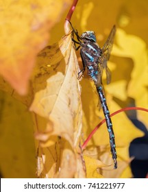Dragonfly on autumn leaf
