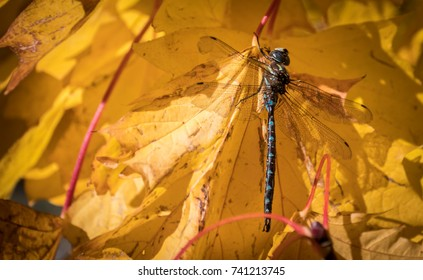 Dragonfly on autumn leaves