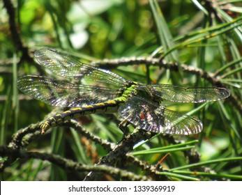 Snaketail log