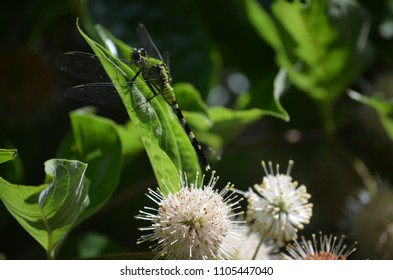 Dragonfly on a buttonbush