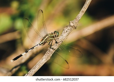 Dragonfly is on a dry twig,Dragonfly rests on dry branches to catch food.