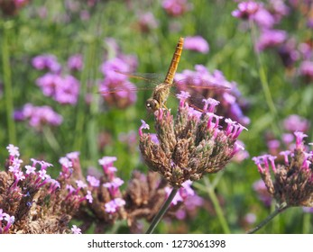 Dragonfly on french lavender, selective focus on dragonfly