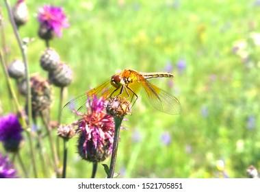 Dragonfly on purple clover in green field