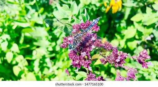 Dragonfly On Purple Oregano Flower