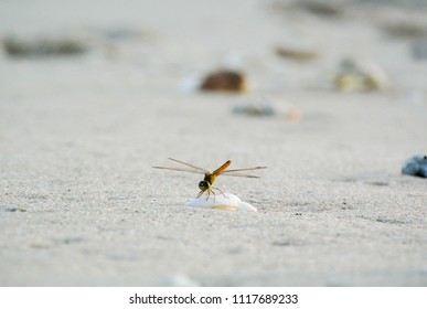 Dragonfly on shell on the beach in sunset light.Background with copy space.