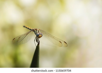 Dragonfly on the tip of a green leaf