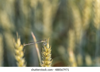 Dragonfly on the Wheat. Blurry Background.