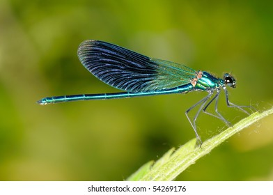 dragonfly outdoor (coleopteres splendens)