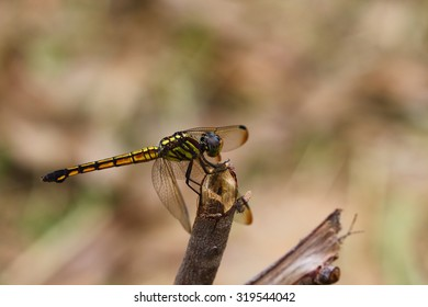 Dragonfly perched on the Prairie style atmosphere fresh . Asia  Thailand.
