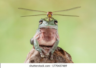 dragonfly perched on top of dumpy Frog head