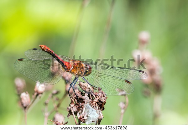 Dragonfly preparing attack. Ruddy darter (Sympetrum sanguineum), adult male. Macro view.