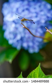dragonfly and purple hydrangea in summer