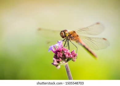 Dragonfly with purple-pink flowers, beautiful backdrop