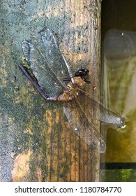 Dragonfly remains. End of life. Closeup on body on wood near a water cistern.
