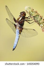 Dragonfly at rest - Libellula depressa