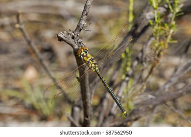 Dragonfly at Rest. Maldon, Victoria, Australia