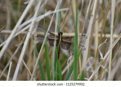 Dragonfly resting on grass stalk