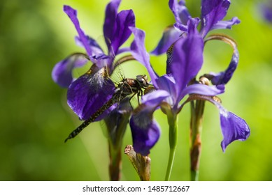 Dragonfly resting on purple flowers.