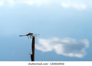 Dragonfly resting on stump, Ukraine