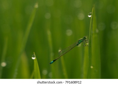 Dragonfly in the rice field