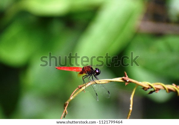 A dragonfly (Scientific name: Lyriothemis biappendiculata)