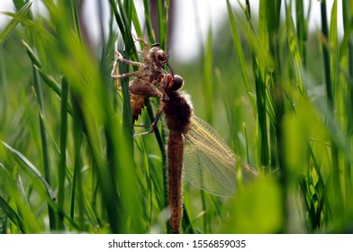 Dragonfly shedding its exoskeleton in long grass